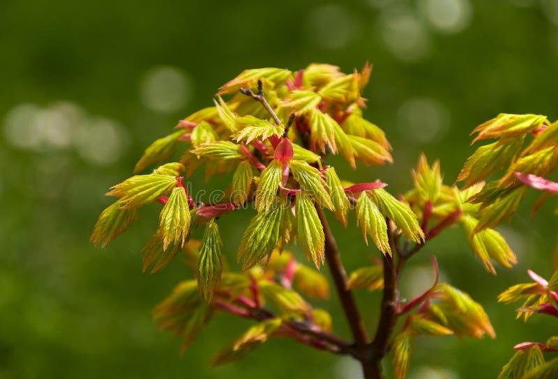 Folhas verde-amarelas novas da árvore de bordo japonês imagem de stock