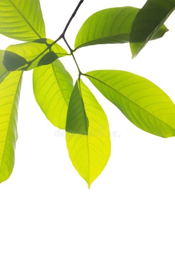 Folhas verdes fotografia de stock