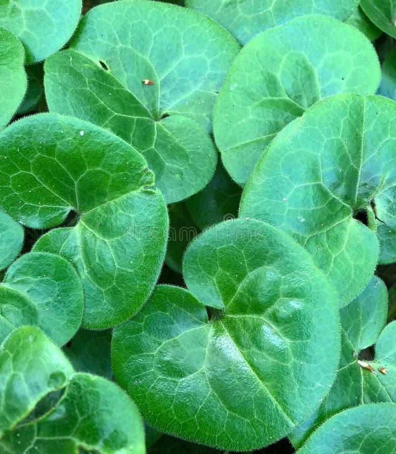 Folhas verdes arredondadas do pennywort asiático fotografia de stock