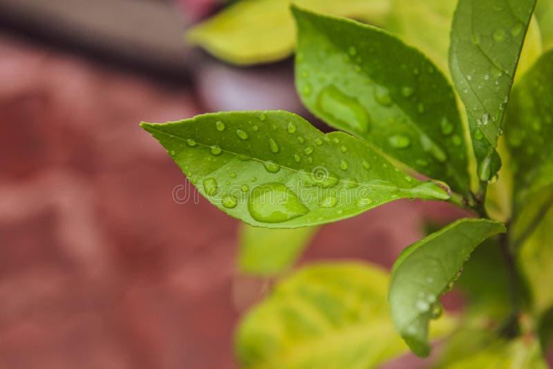 Folhas verdes bonitas com gotas da água fotografia de stock royalty free