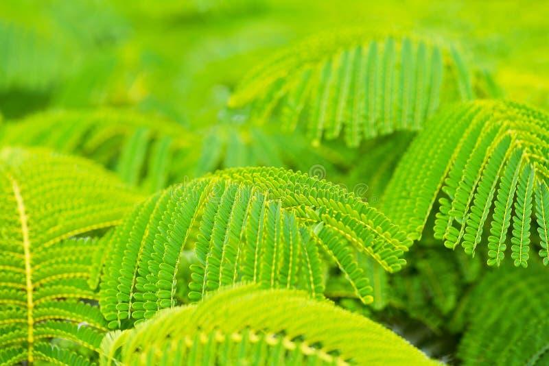 Folhas verdes bonitas da árvore de chama imagens de stock royalty free