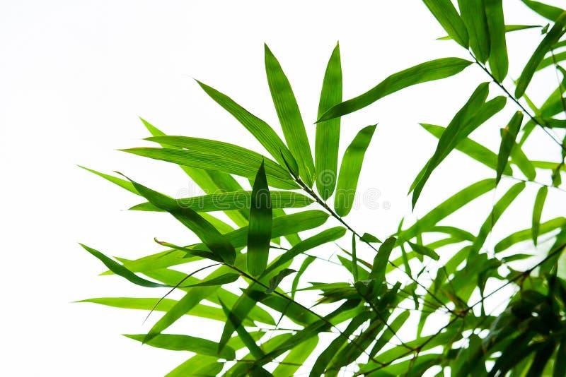 Folhas verdes bonitas do bambu isoladas no fundo branco na SU imagem de stock royalty free