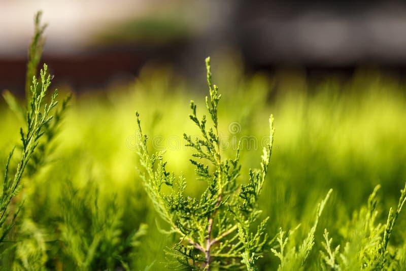 Folhas verdes bonitas do Natal de árvores do Thuja com luz solar macia fotografia de stock royalty free