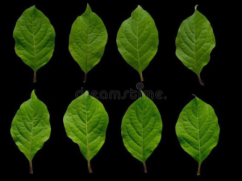 Folhas verdes bonitas em um fundo preto Natureza do isolado nos detalhes fotografia de stock royalty free