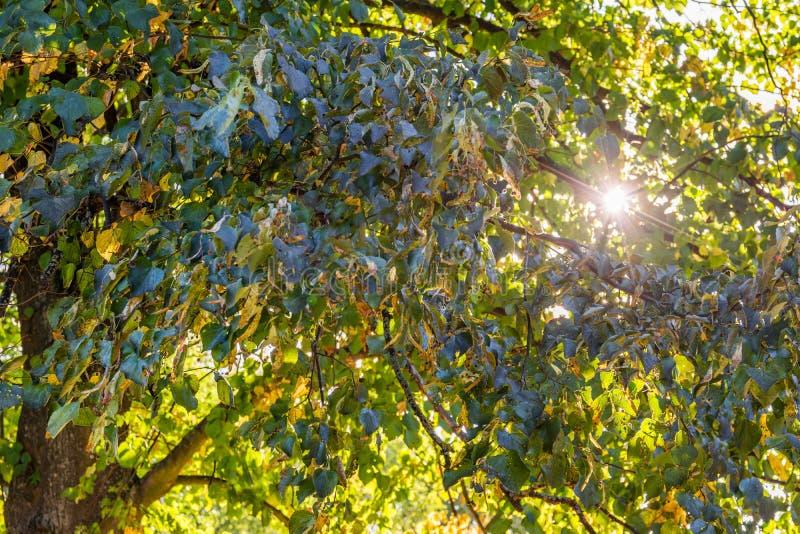 Folhas verdes da árvore com o sol que brilha completamente fotografia de stock
