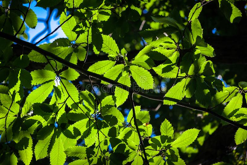 Folhas verdes da árvore de castanha para iluminar pelo sol imagem de stock