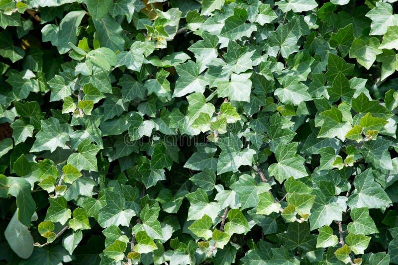 Download Folhas Verdes Da Hera Na Parede Foto de Stock - Imagem de fundo, planta: 80100240