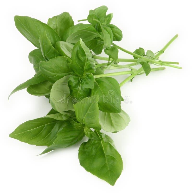 Folhas verdes da manjericão foto de stock royalty free