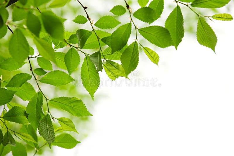 Folhas verdes da mola no fundo branco imagens de stock