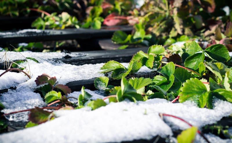 Folhas verdes da morango cobertas com a primeira neve branca foto de stock royalty free