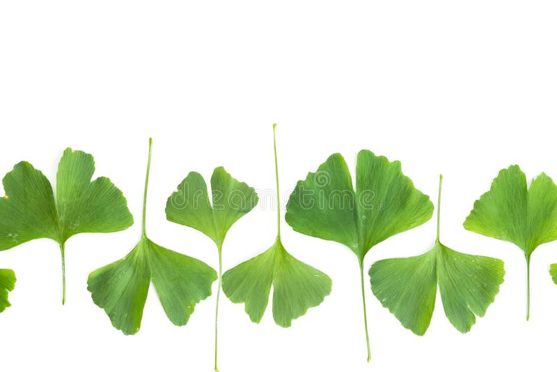 Folhas verdes da planta do biloba da nogueira-do-Japão isolada no fundo branco Folhas medicinais do Gingko da árvore da relíquia fotos de stock royalty free