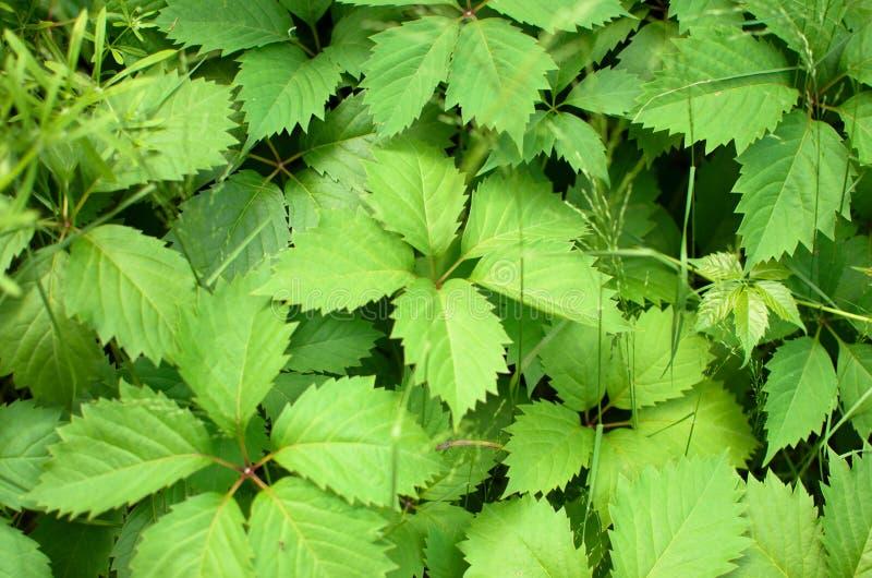 Folhas verdes da provocação no jardim fotografia de stock