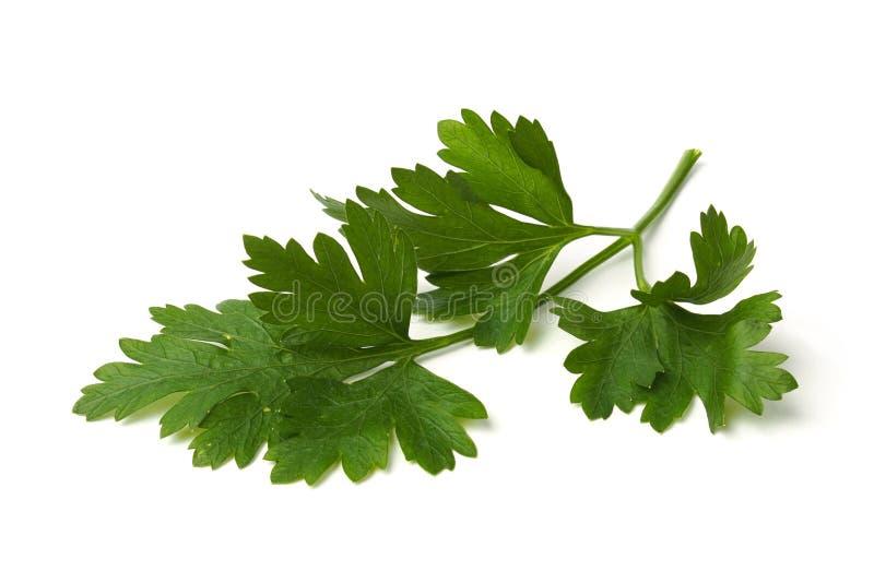 Folhas verdes da salsa imagem de stock