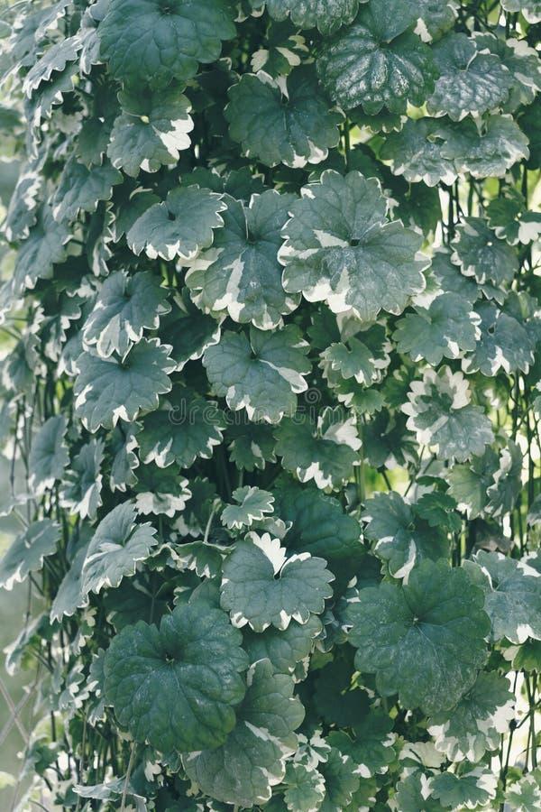 Folhas verdes de Epipremnum aureum em natural tropical com folhagem verde que cresce sobre fundo natural tropical Textura para fotos de stock