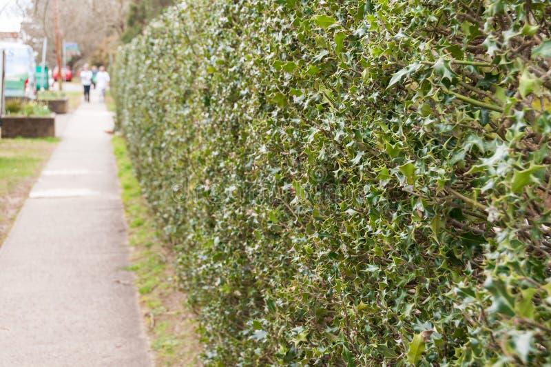 Folhas verdes densas do arbusto de Natal que formam o hedgegrow ao longo da aleia fotos de stock royalty free