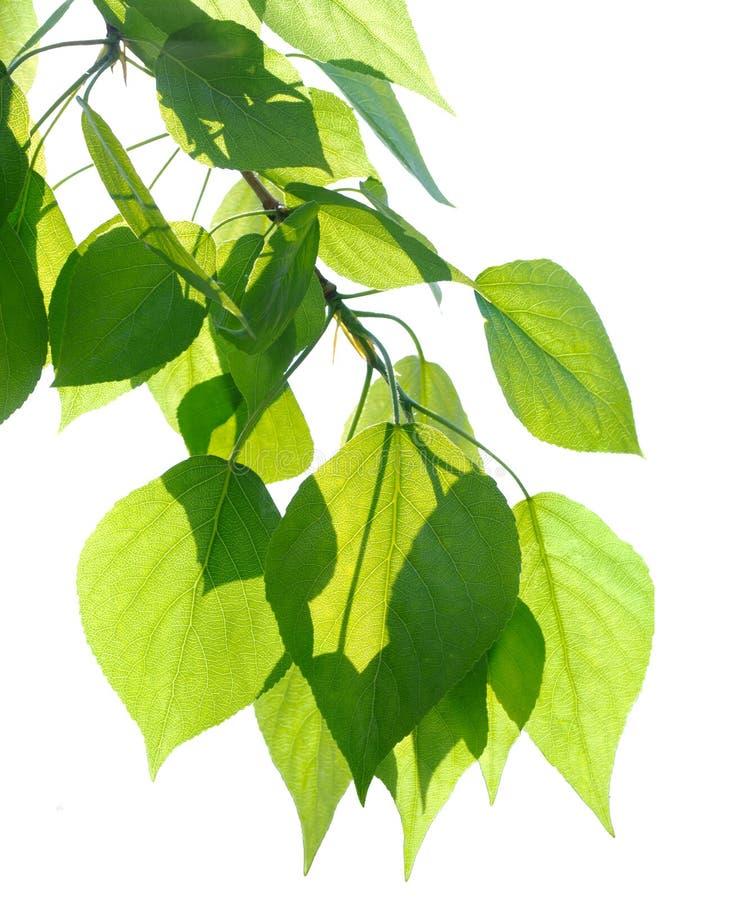 Folhas verdes do álamo isoladas fotografia de stock