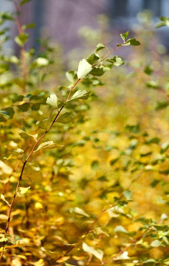 Folhas verdes do arbusto com fundo blury foto de stock