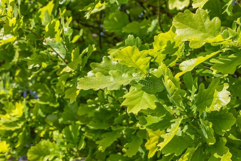 Folhas verdes do carvalho fotografia de stock royalty free