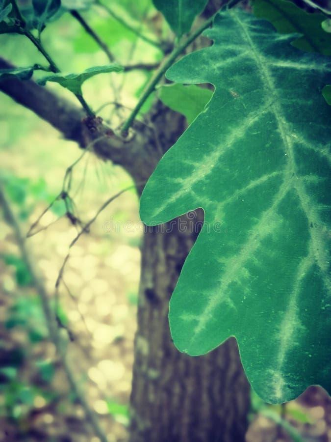 Folhas verdes do carvalho em uma ?rvore fotos de stock