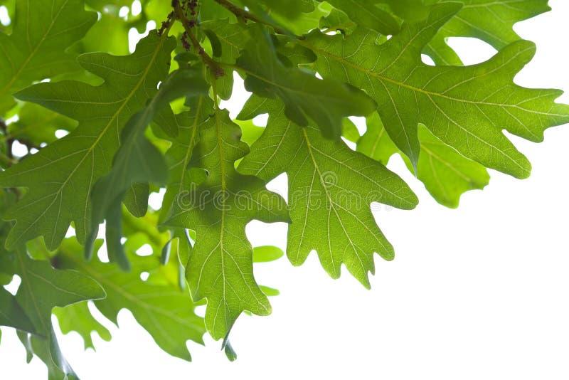 Folhas verdes do carvalho isoladas fotografia de stock royalty free
