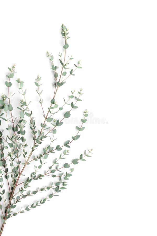 Folhas verdes do eucalipto no fundo branco Configuração lisa e estilo minimalistic fotos de stock royalty free