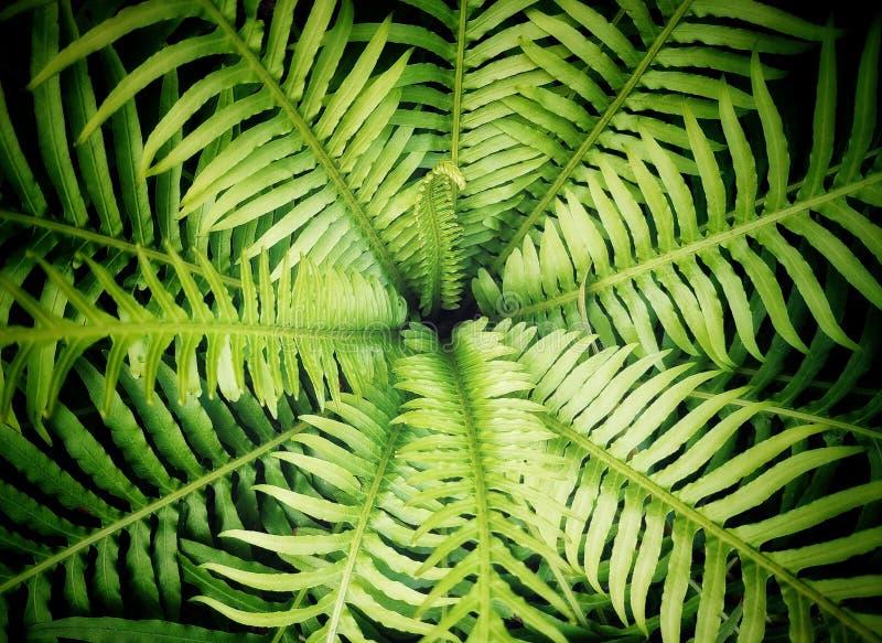 Folhas verdes do fern fotografia de stock