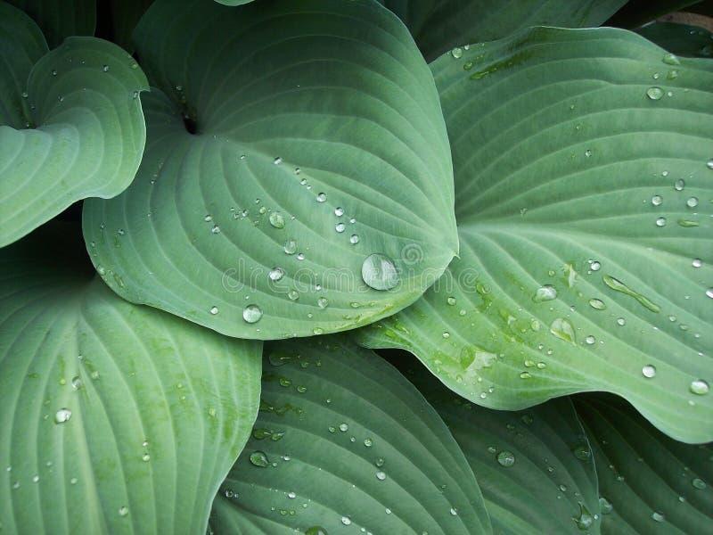 Folhas verdes do hosta imagens de stock royalty free