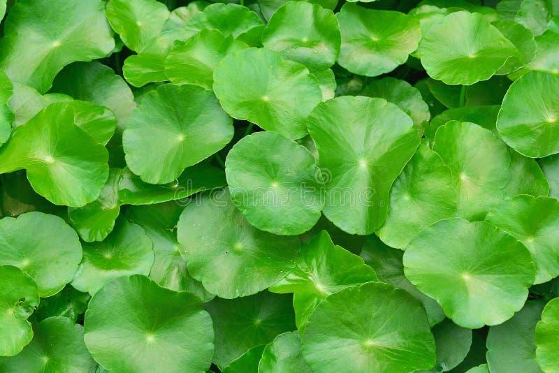 Folhas verdes do jacinto de água fotos de stock royalty free