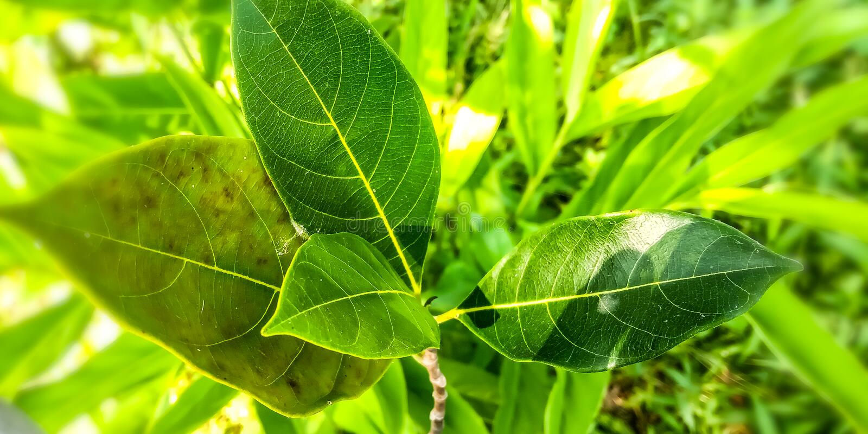 Folhas verdes do Jackfruit fotos de stock royalty free