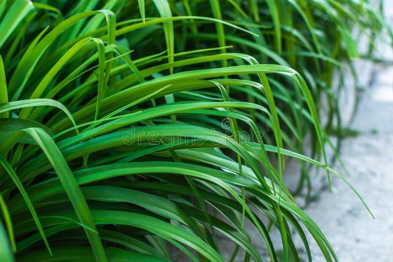 Folhas verdes do l?rio imagem de stock royalty free