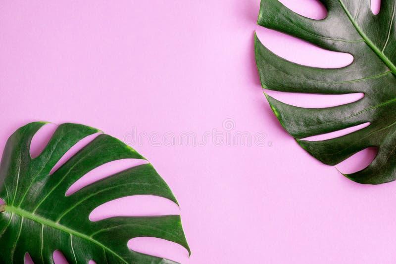 Folhas verdes do monstera da opinião superior dois da configuração do plano no fundo cor-de-rosa brilhante Zombaria tropical acim fotos de stock