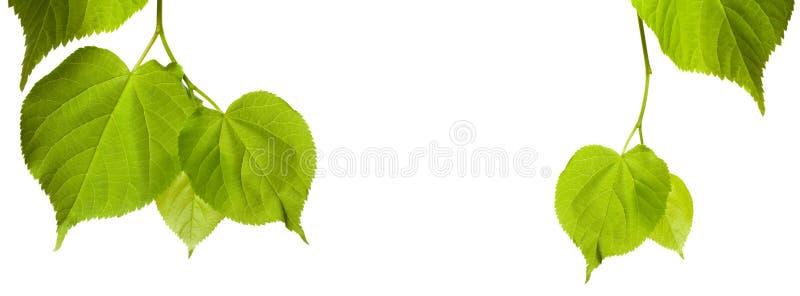 Folhas verdes do tilia com espaço da cópia imagens de stock royalty free