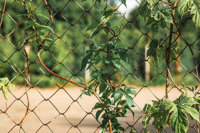 Folhas verdes frescas complicadas no fio oxidado velho fotografia de stock