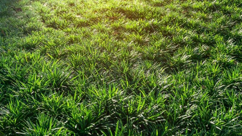 Folhas verdes frescas da grama de Mini Mondo ou da barba das serpentes, planta da vegetação rasteira sob a manhã alaranjada da lu foto de stock royalty free