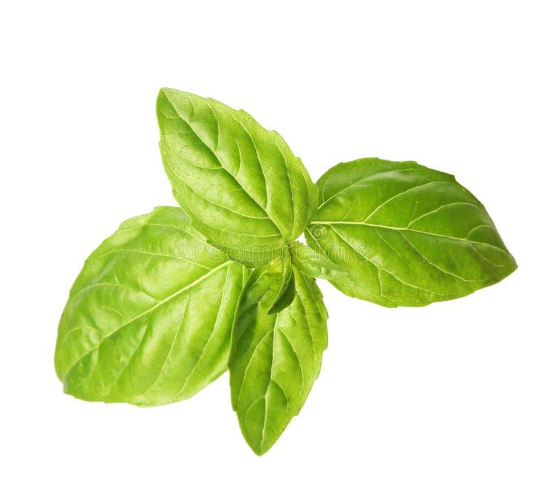 Folhas verdes frescas da manjericão fotos de stock royalty free