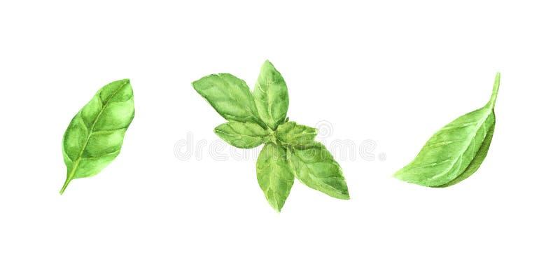folhas verdes frescas da manjericão do grupo da ilustração da aquarela ilustração royalty free
