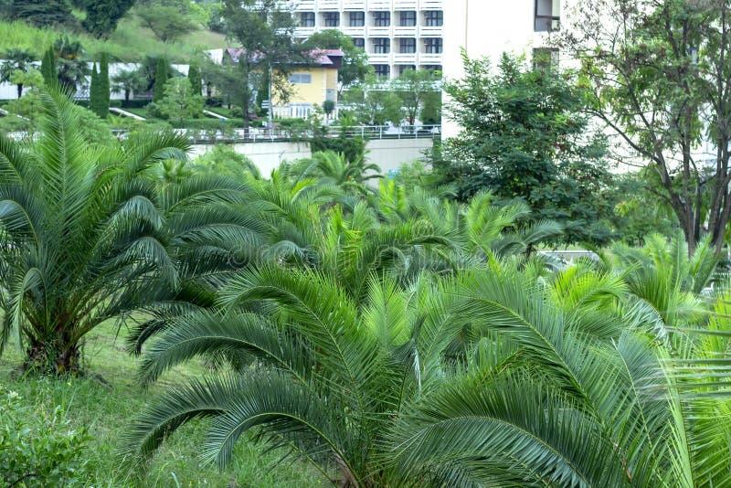 Folhas verdes frescas da palmeira Fundo do ver?o fotografia de stock