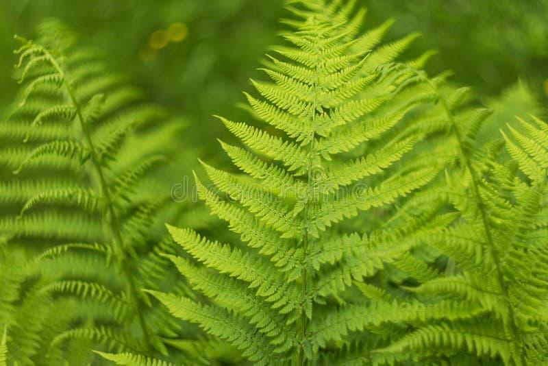 Folhas verdes frescas da samambaia, fundo natural fotografia de stock