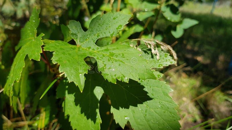 Folhas verdes frescas da vinha selvagem com gotas da água após a chuva Close up verde molhado da folha com fundo verde borrado da fotografia de stock royalty free