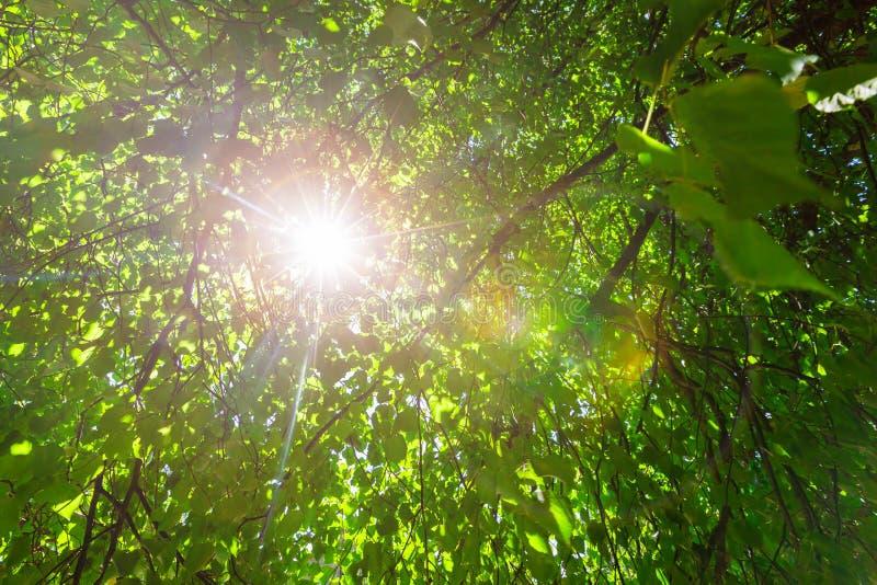 Folhas verdes frescas em uma floresta e raios do sol através dos ramos das árvores do céu no dia de verão fotografia de stock