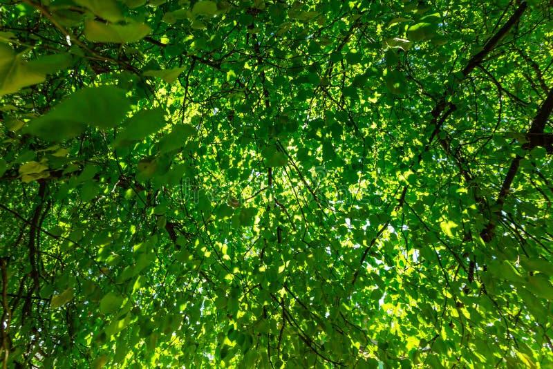 Folhas verdes frescas em uma floresta e raios do sol através dos ramos das árvores do céu no dia de verão foto de stock