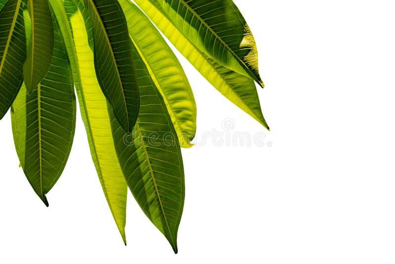 Folhas verdes isoladas no fundo branco para o projeto da arte e decorativas Fundo da textura da natureza Ame o conceito da terra  imagens de stock