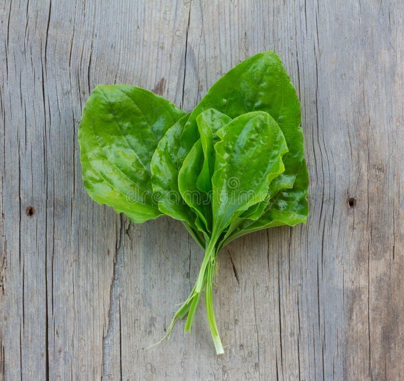 Folhas verdes lavadas frescas da planta medicinal do banana-da-terra (major do Plantago) em uma mesa de madeira cinzenta velha foto de stock royalty free