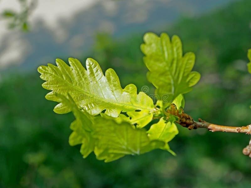 Folhas verdes macias novas do carvalho, macro fotos de stock