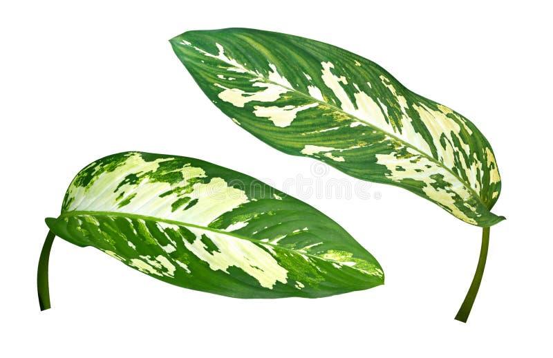 Folhas verdes mudas da planta tropical de Cane Dieffenbachia isoladas no fundo branco, trajeto de grampeamento fotografia de stock