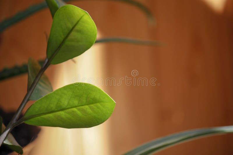 Folhas verdes no fundo de madeira escuro de madeira borrado com espaço para o texto fotos de stock