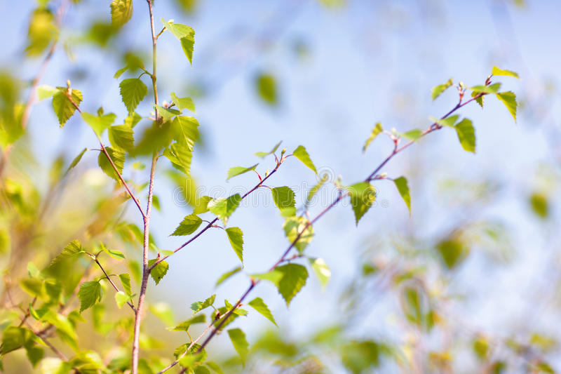 Folhas verdes novas de um vidoeiro na mola contra um céu azul foto de stock
