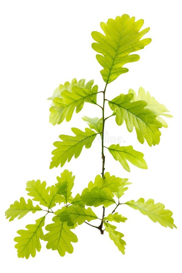 Folhas verdes novas do carvalho imagem de stock