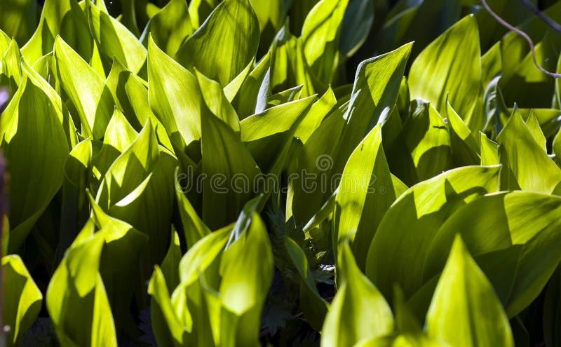Folhas verdes novas do lírio do vale, iluminado através do sol foto de stock royalty free