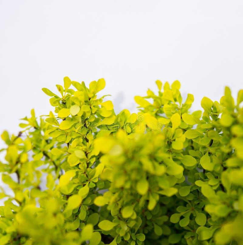 folhas verdes pequenas isoladas sobre o branco imagem de stock